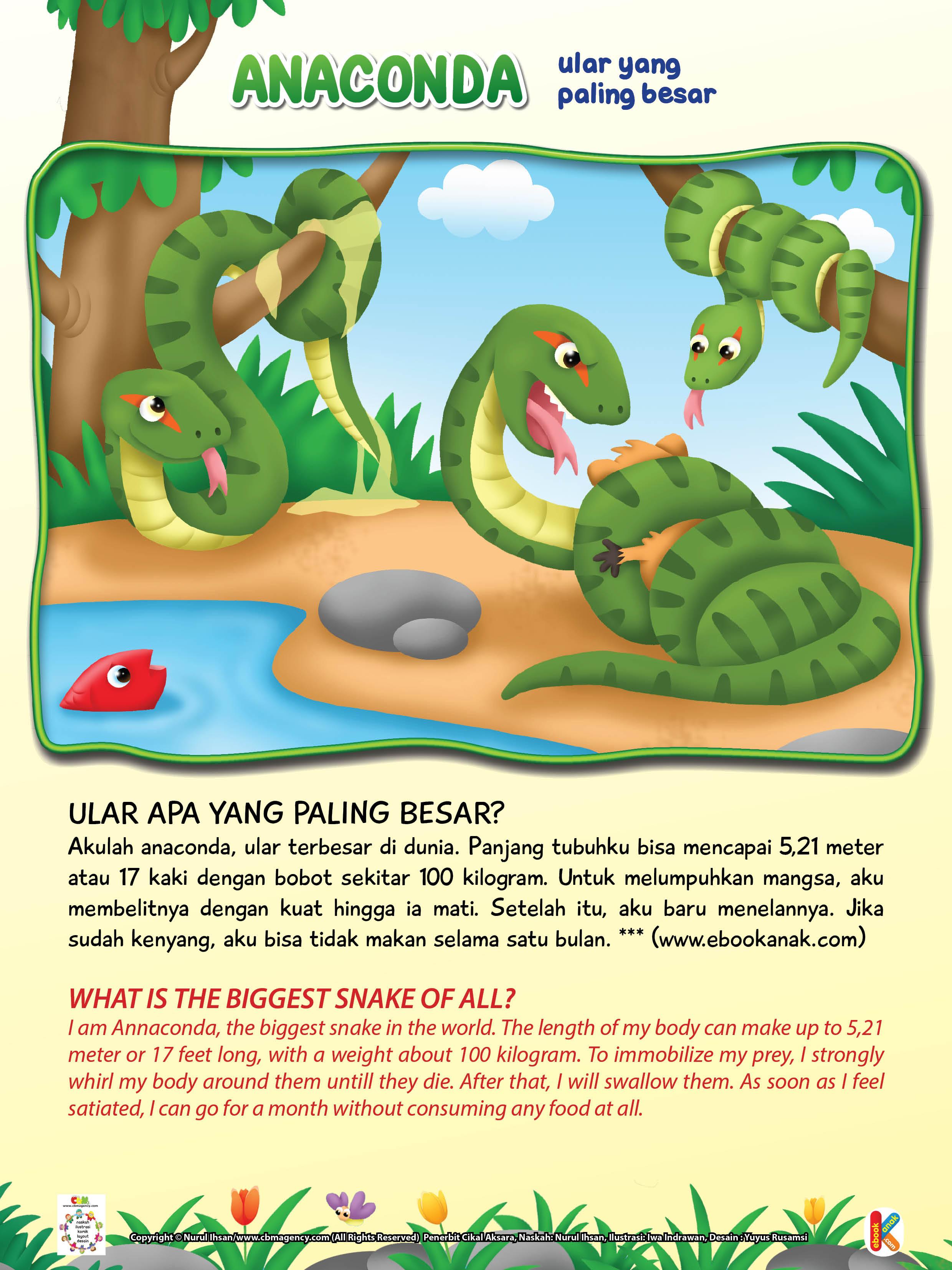Panjang tubuh anaconda bisa mencapai 5,21 meter atau 17 kaki dengan bobot sekitar 100 kilogram.