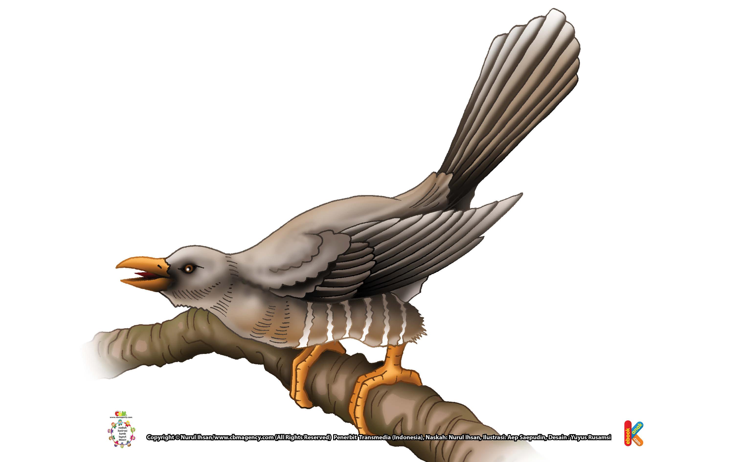 Burung Kukuk Si Burung Parasit