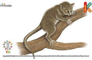 Lemur berasal dari bahasa latin lemures, artinya makhluk atau arwah di malam hari atau hantu.