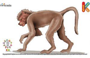 Terkadang monyet babun berani menyerang hewan buas seperti singa.
