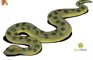 Anaconda Ular Terbesar Dunia