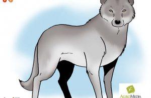 Serigala Abu-Abu Anjing Liar Terbesar di Dunia yang Suka Berburu Berkelompok