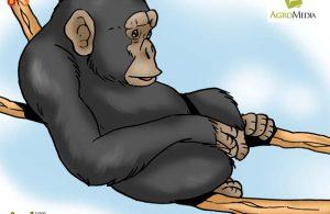 Simpanse Kera Paling Cerdas di Dunia yang Suka Melempar Batu