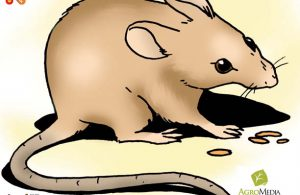 Tikus Kerdil, Pengerat Terkecil Dunia yang Berukuran Hanya 7,3 Centimeter