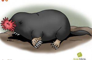 Tikus Mondok Berhidung Bintang Si Binatang Pemakan Tercepat