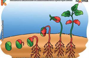 ilustrasi rahasia keajaiban makhluk hidup, Apakah Embrio Tumbuhan Berada di dalam Biji