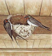 Burung sedang Membangun Sarang di Langit-Langit Rumah