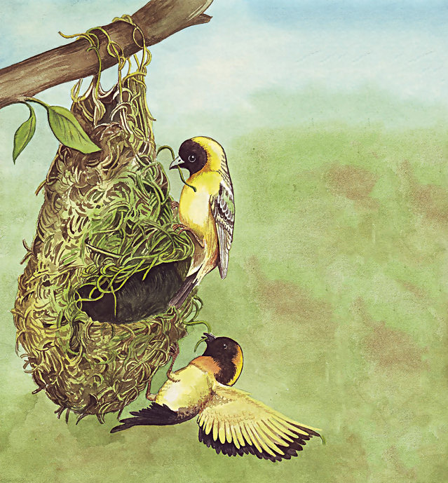 Burung yang Pandai Merajut Sarang
