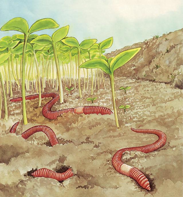 Cacing Tanah untuk Menyuburkan Tanah