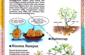 Ebook Legal dan Printable Aku Anak Cerdas Serangga dan Tumbuhan 2, Rizoma Rumput (14)