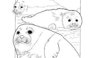 Mewarnai Gambar Keluarga Singa Laut